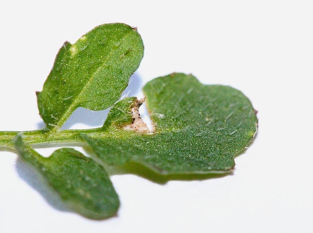 Gartenschaumkraut-behaartes Schaumkraut
